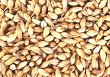 A very popular base malt used in Pale Ales, Bitters, Porters, IPAs, Stouts, Barleywines and Scottish Ales. Excellent yields and efficient run off make it the malt of choice for producing English style beers.