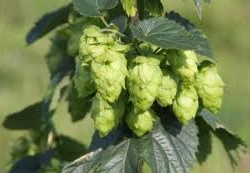 Hops on the vine, hop bine