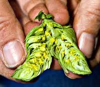 Hop cone split to show the yellow Lupulone glands