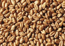 A single batch quantity for use in conjunction with your favourite kits.  Enhances head retention and increases foam when used in even small quantities for any beer.  Can make up to 60% of the grain bill for any wheat-style beer.  (EBC 2.5 - 4.5)